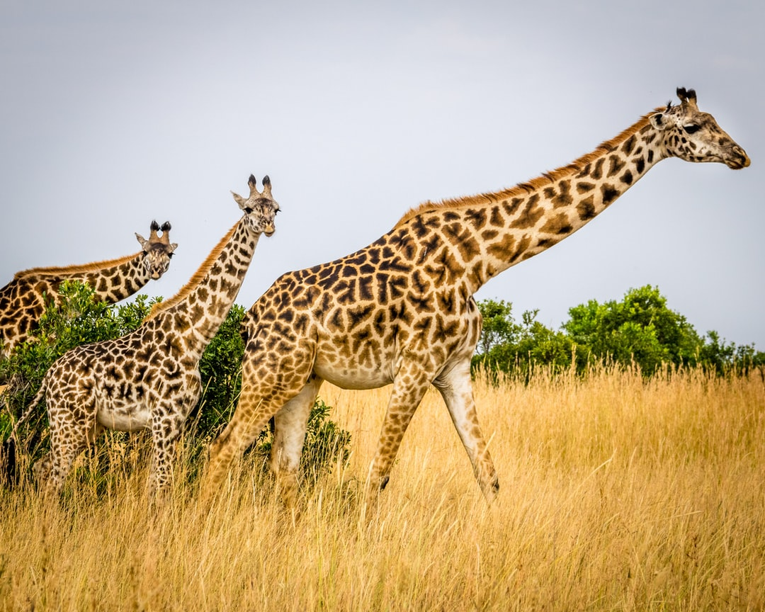 Three giraffes.