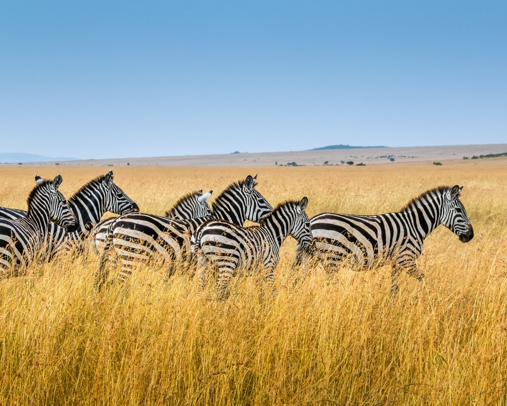 group of zebra walking on wheat field