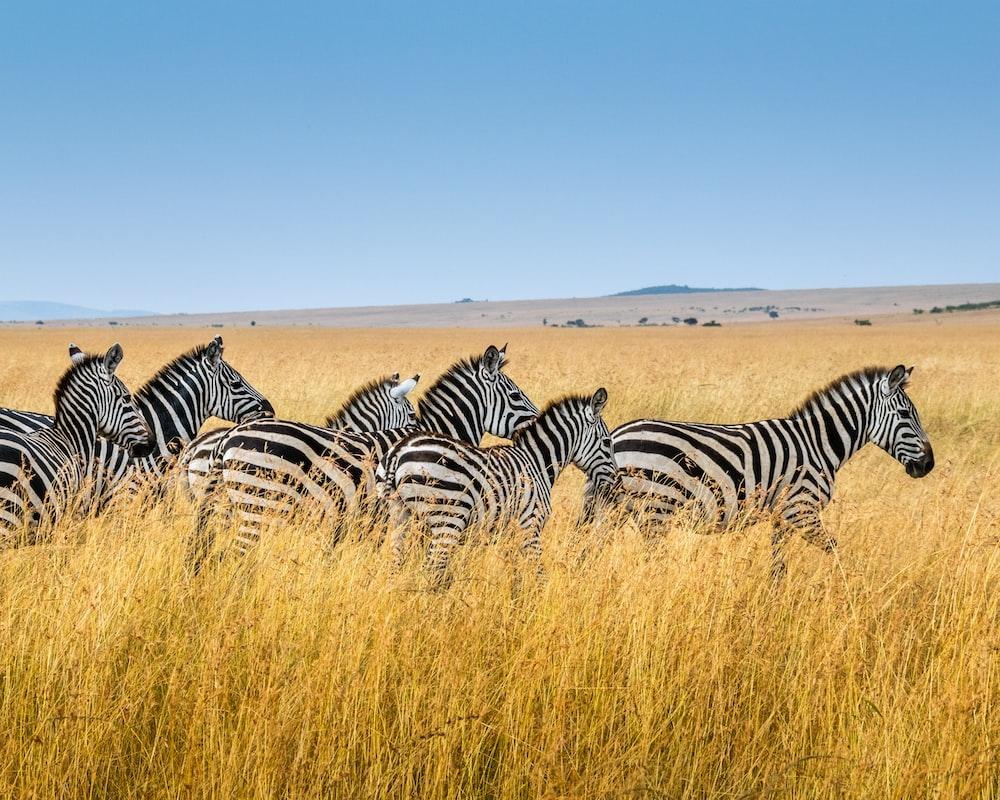 group of zebra walking on wheat field