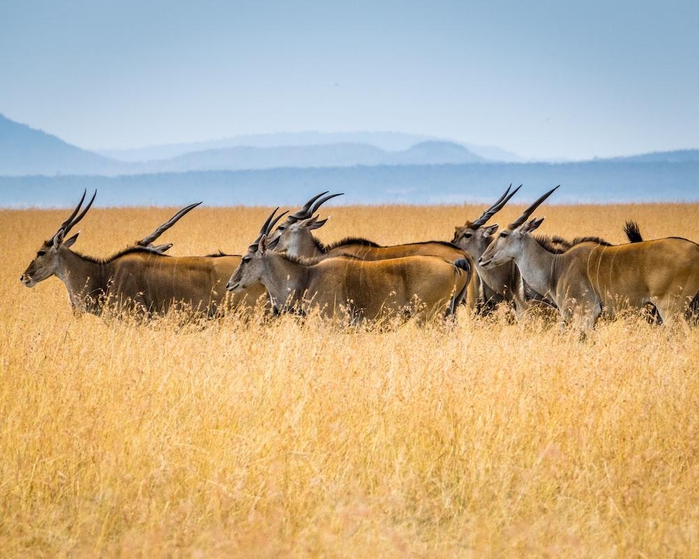 herd of antelopes on grass field