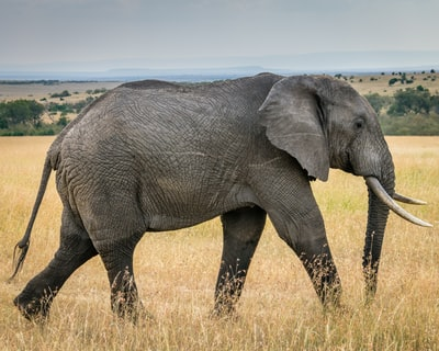 wildlife photography of an elephant
