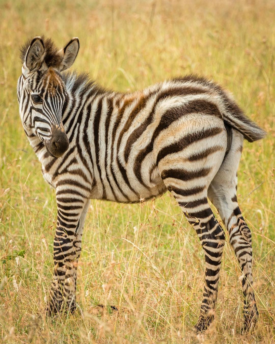 A cute juvenile zebra.