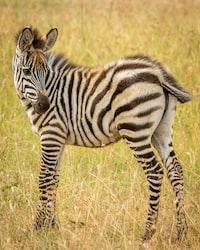Zebra macro photography
