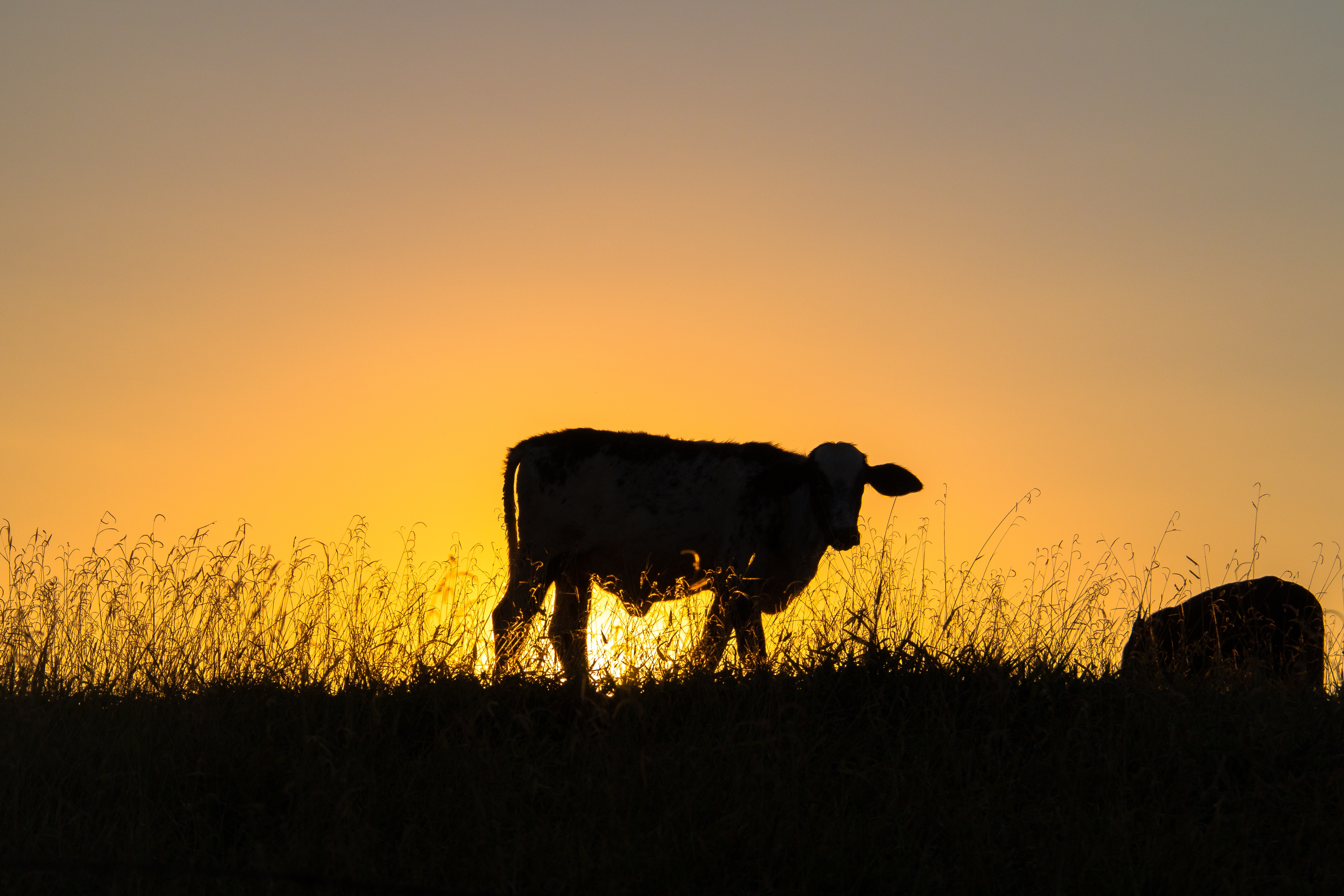 silhouette photography of cow