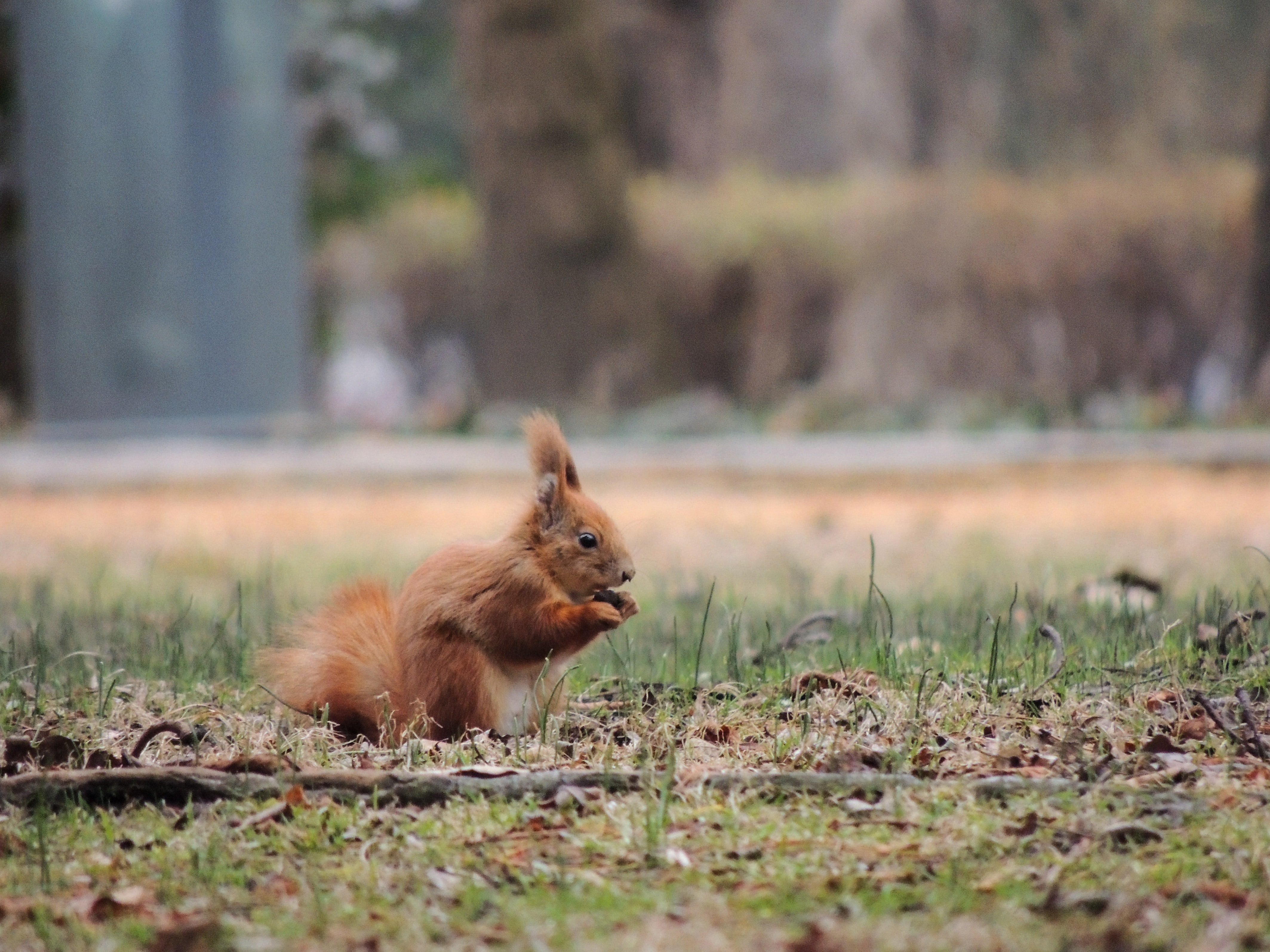 shallow focus photography of brown squirrel on green grass