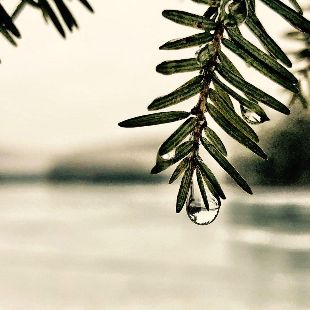 Rain drops on sagging evergreen