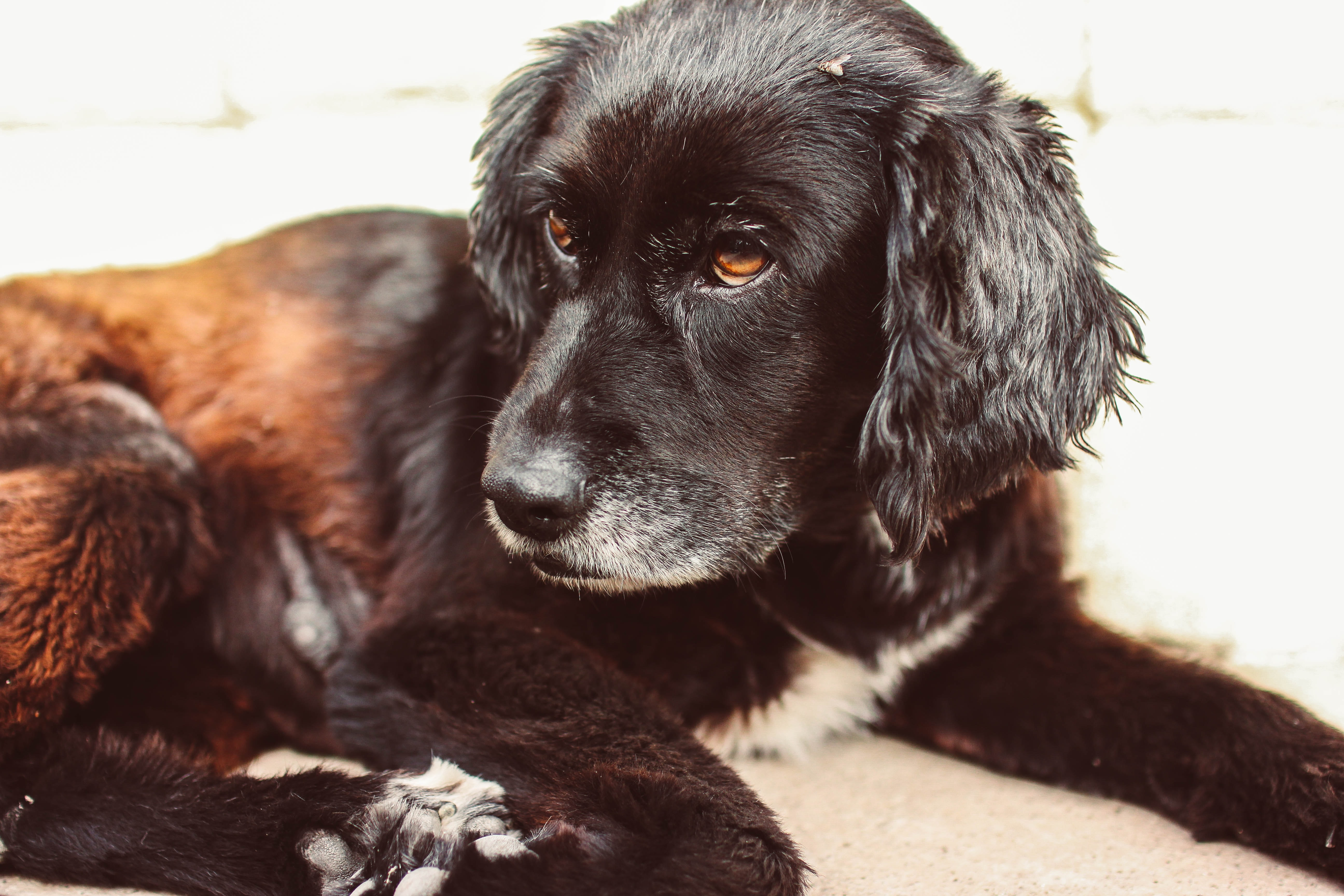 short-coated brown and black dog laying on floor
