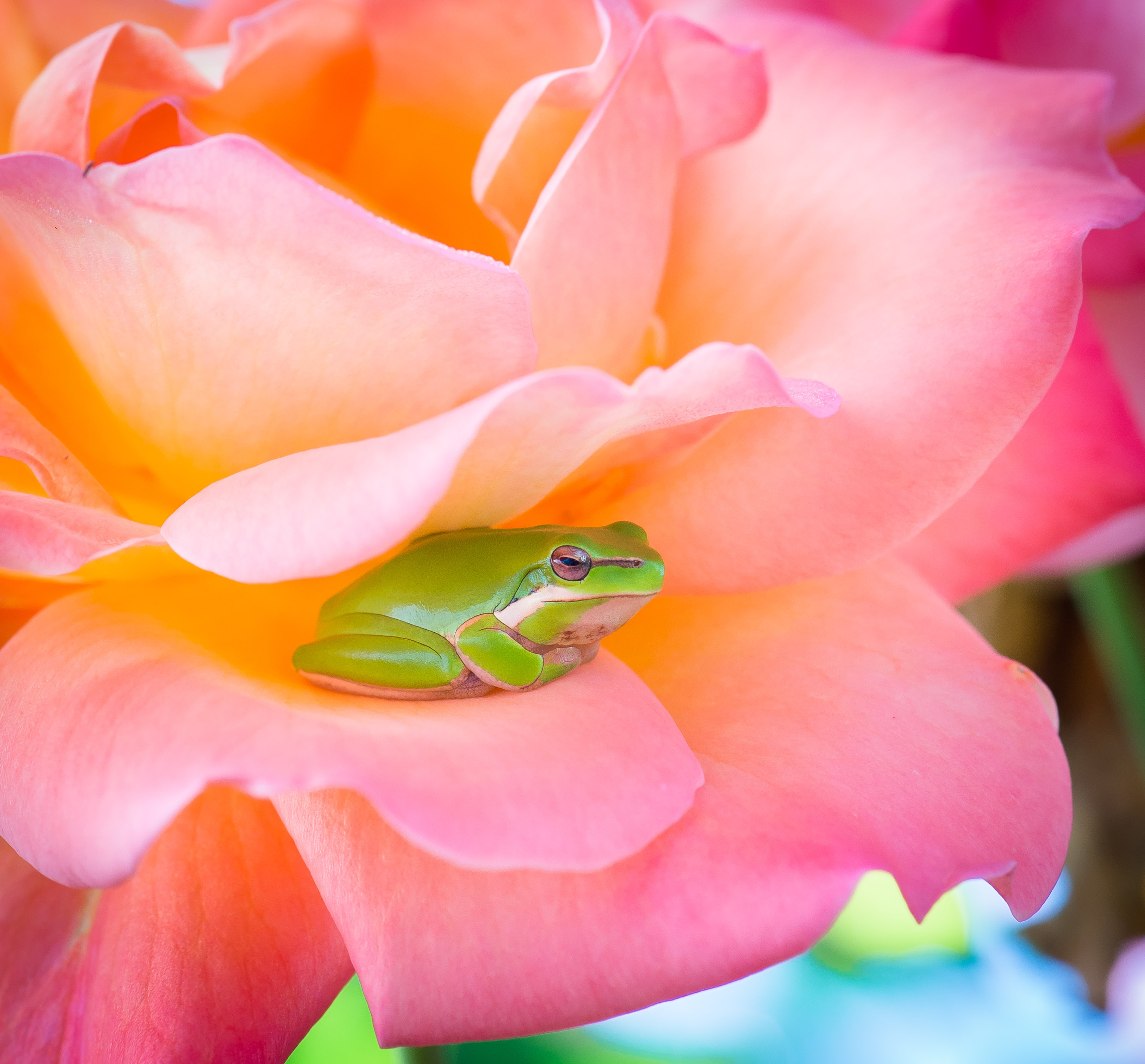 green frog and pink rose
