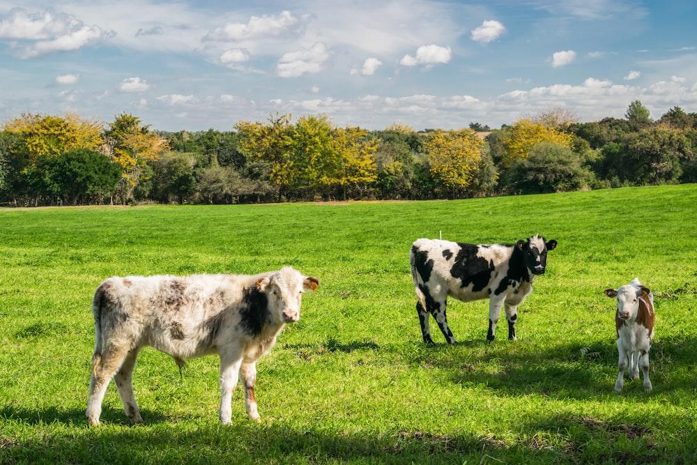 three cows on green grass