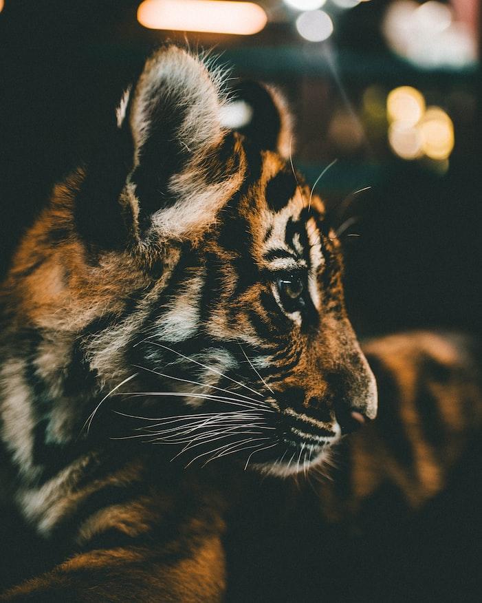 A closeup shot of a tiger
