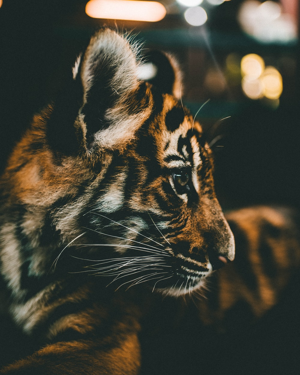 closeup photography of tiger cub