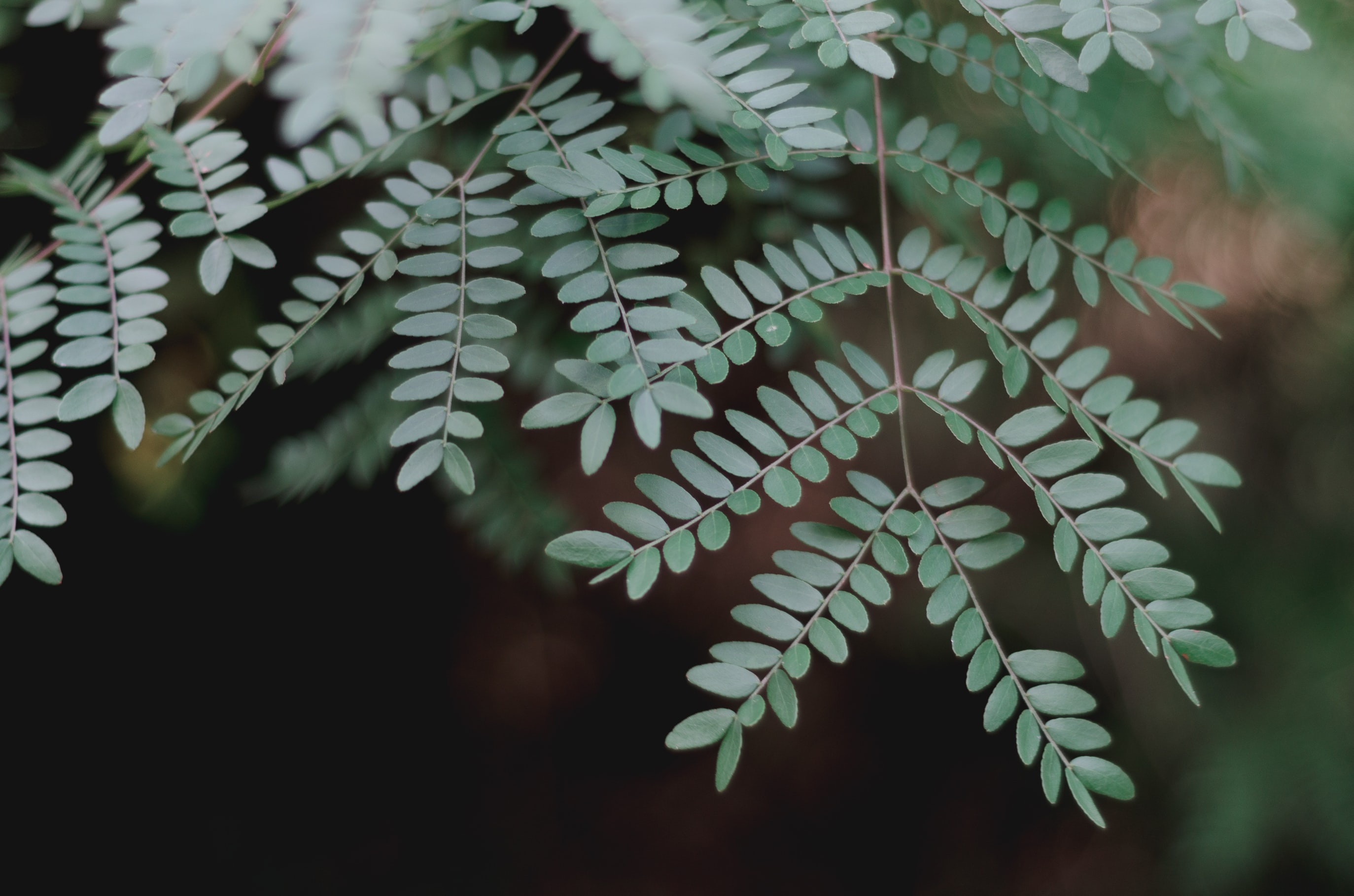 closeup of fern leafed plant