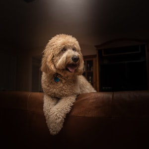 short-coat brown dog leaning on brown leather sofa inside room