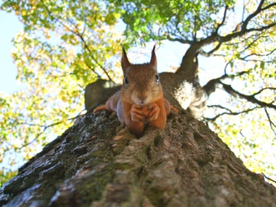 brown squirrel on green leafed tree funny teams background