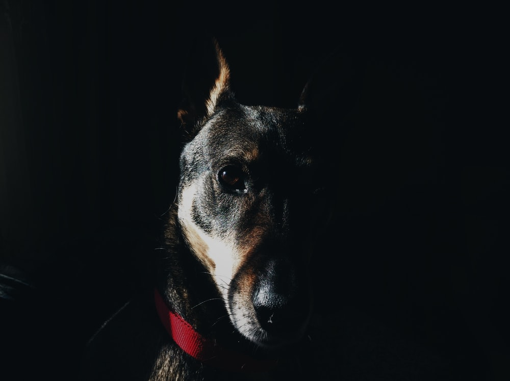 black and brown dog photography