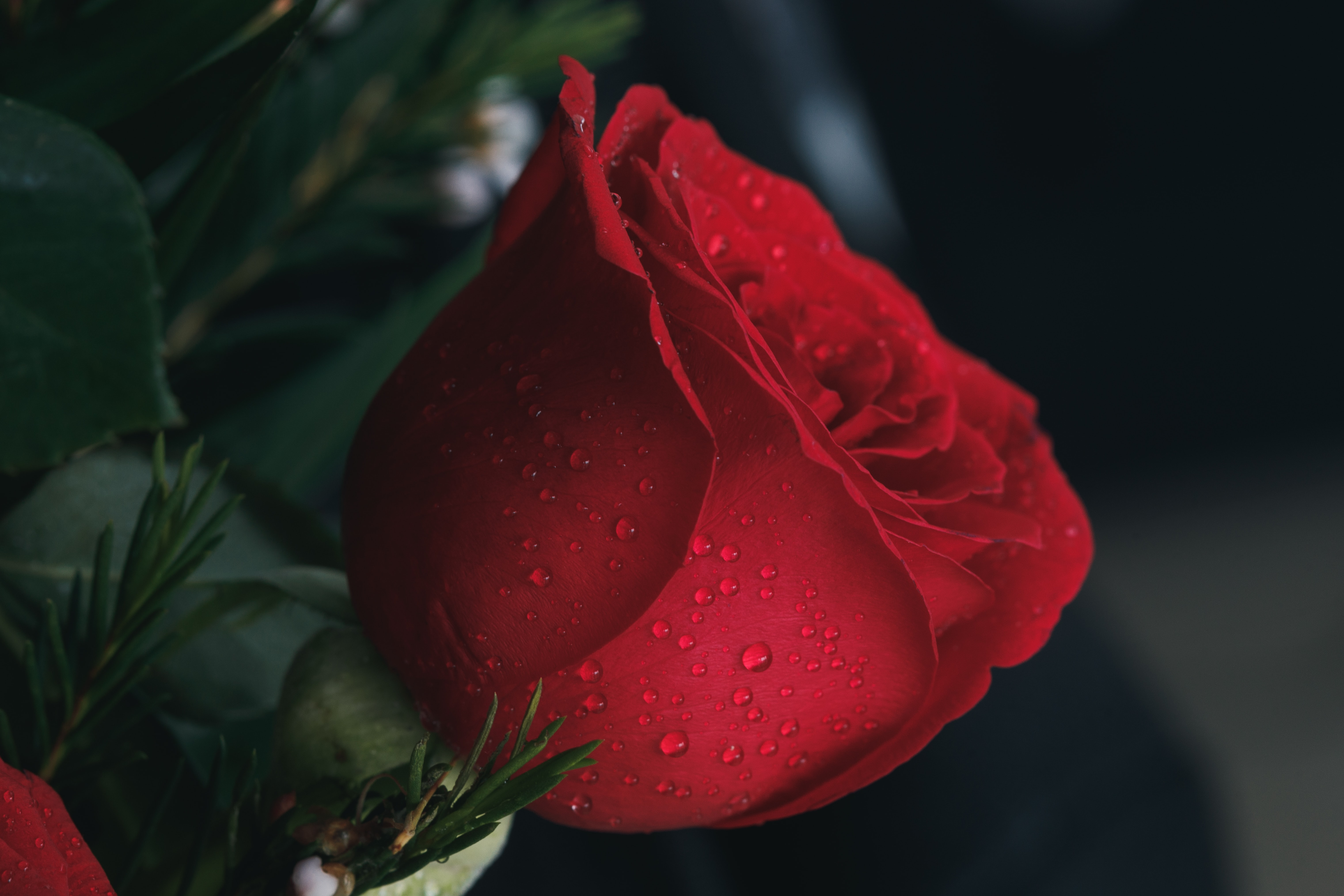 shallow focus photography of red rose with water droplets