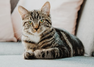 selective focus photo of gray tabby cat