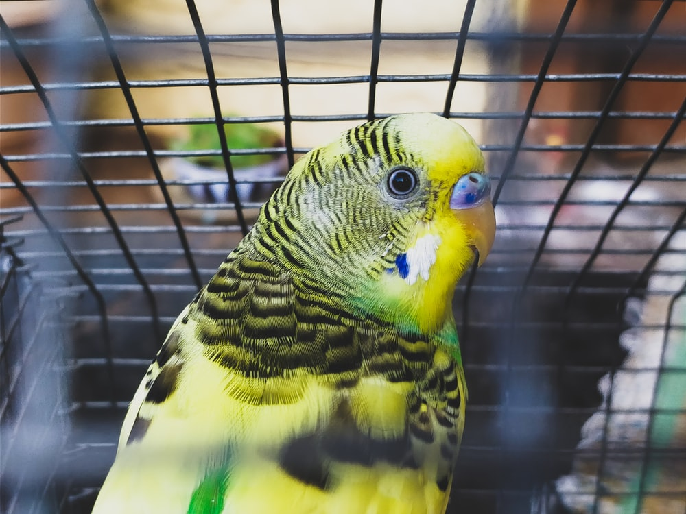 shallow focus photography of yellow, green, and black parakeet