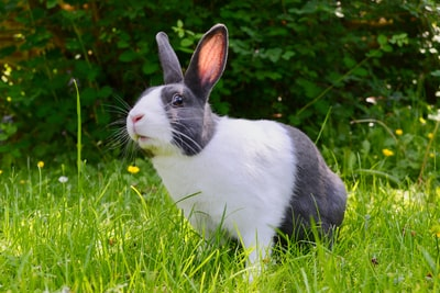white and black rabbit on green grass rabbit zoom background