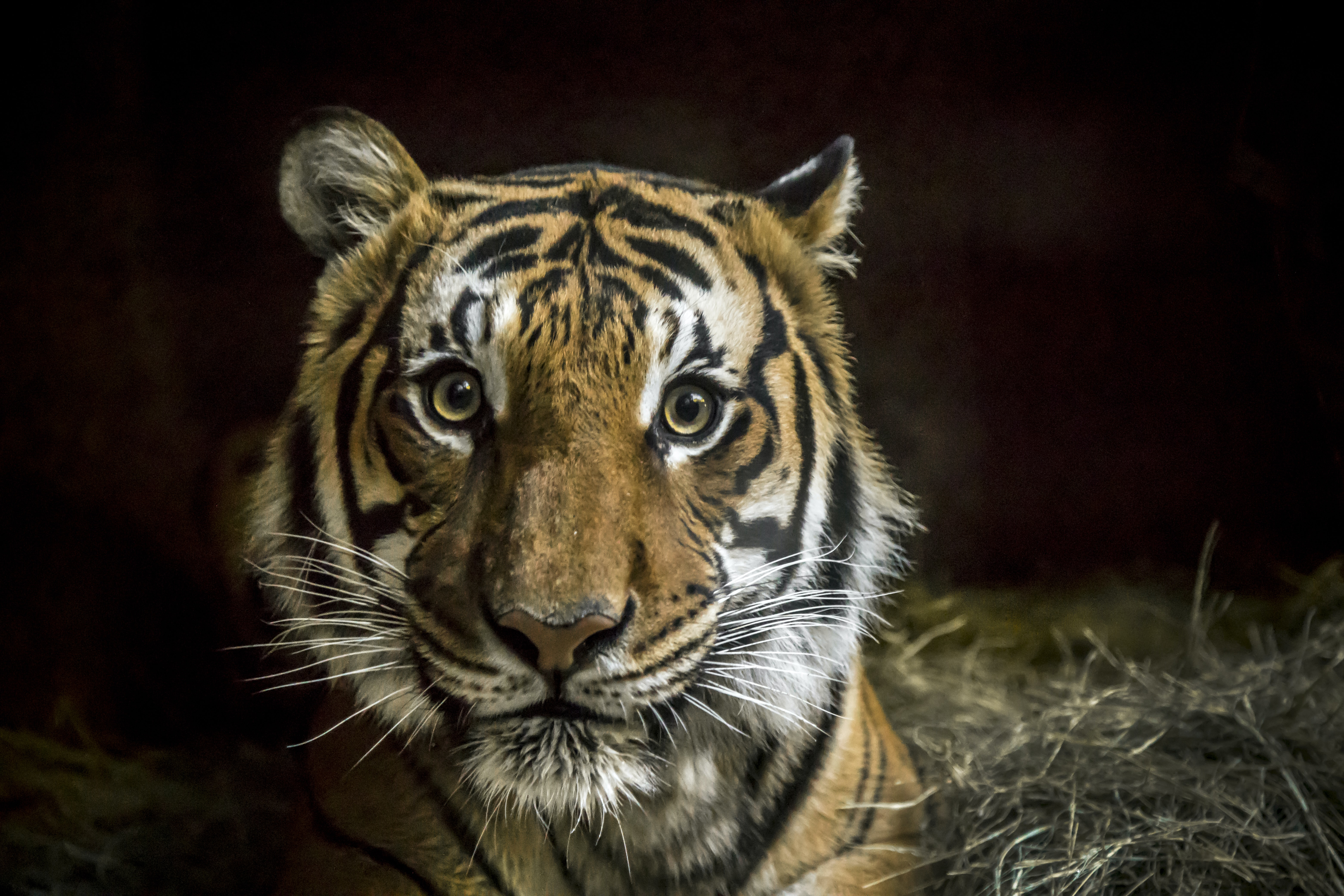 tiger with black background