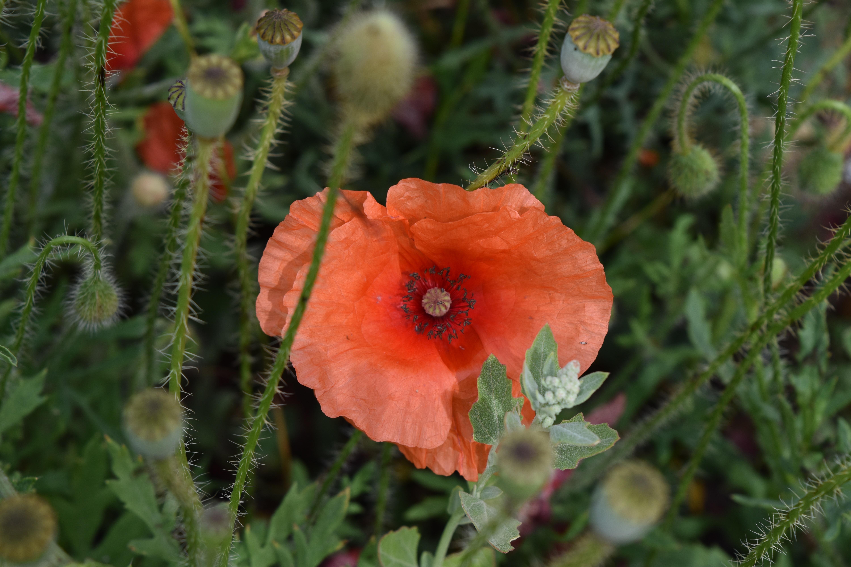 closeup photo of orange poppy flower