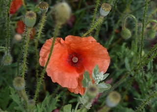 closeup photo of orange poppy flower