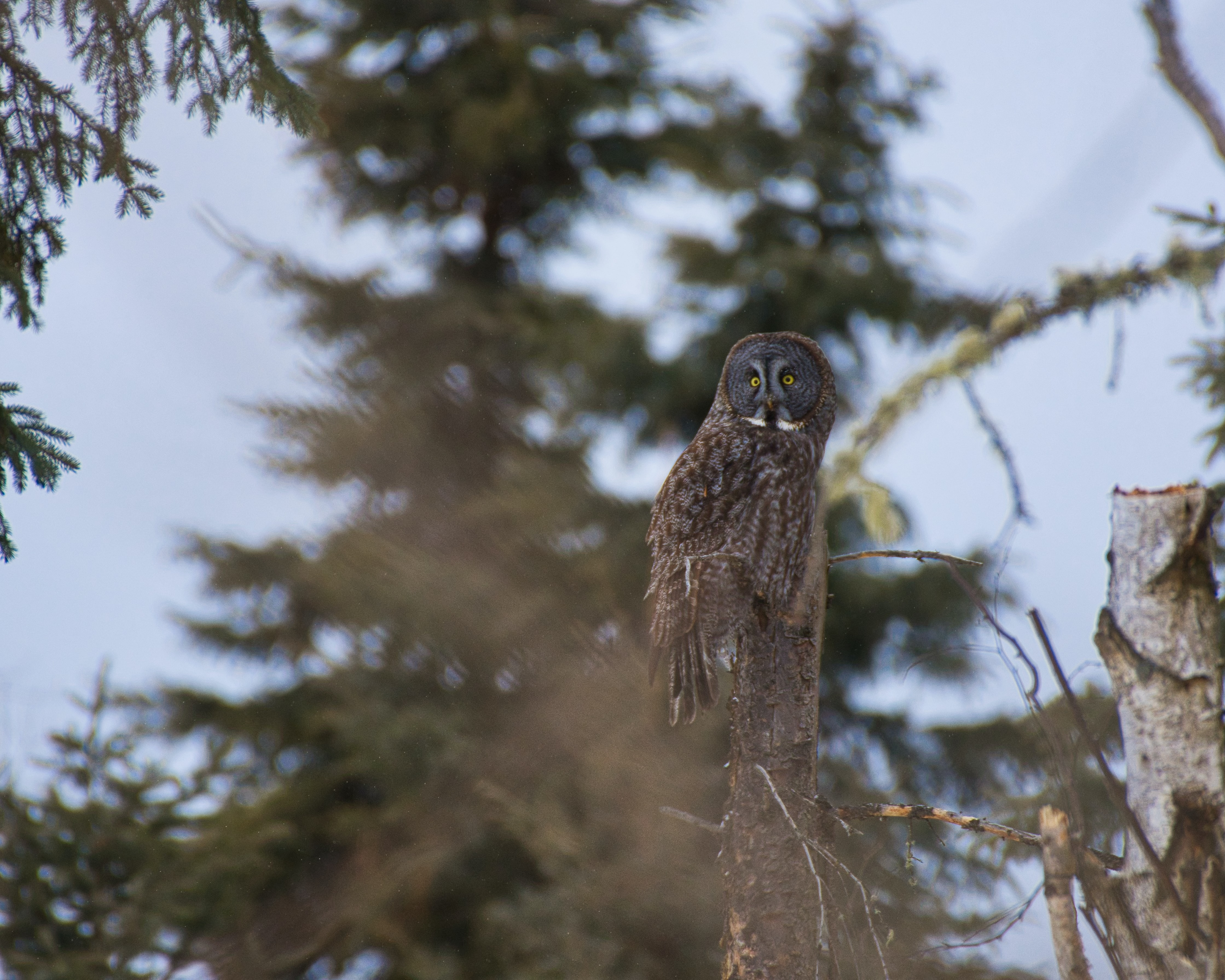 brown owl resting on tree branch