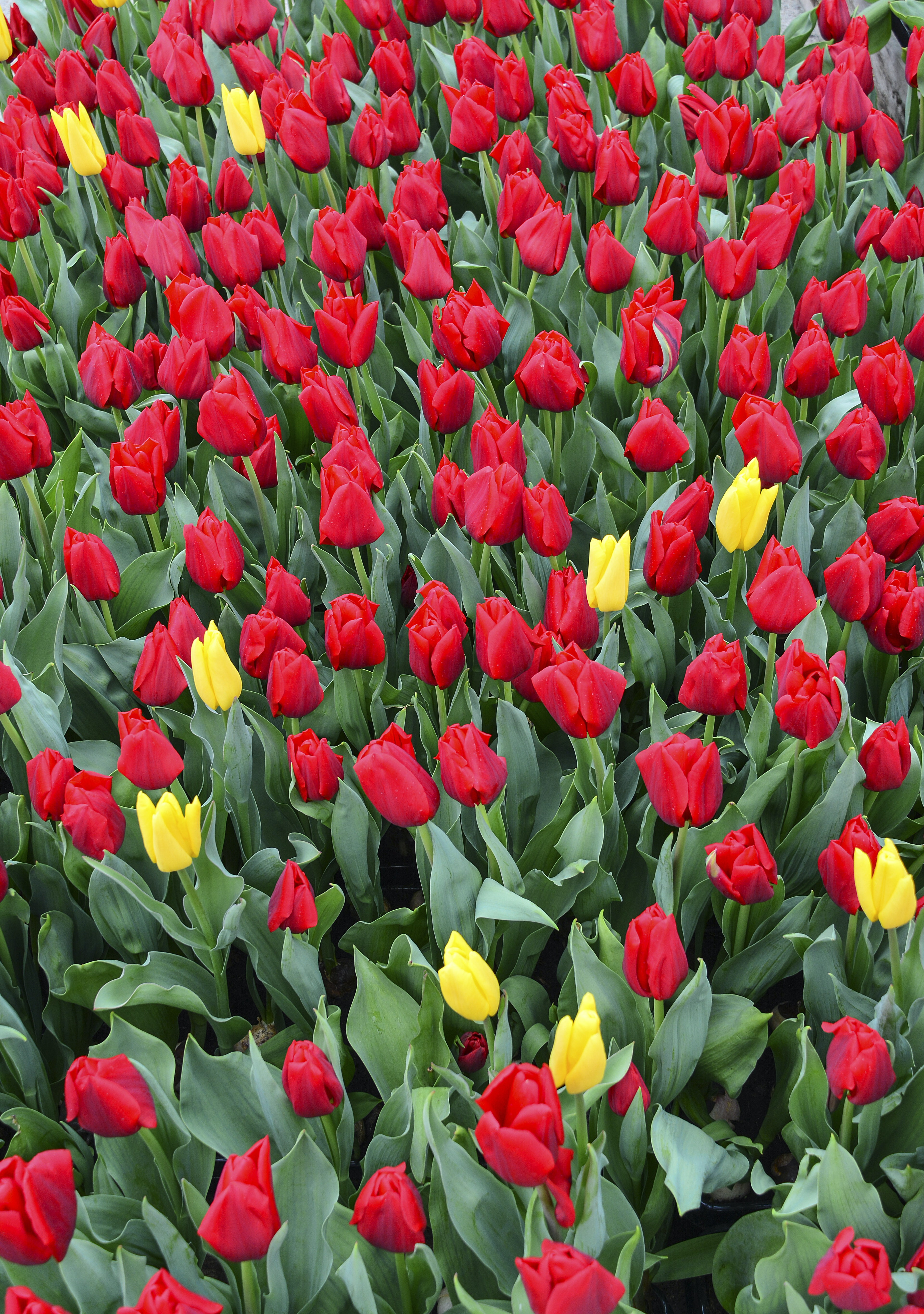 red and yellow tulips under sunny sky
