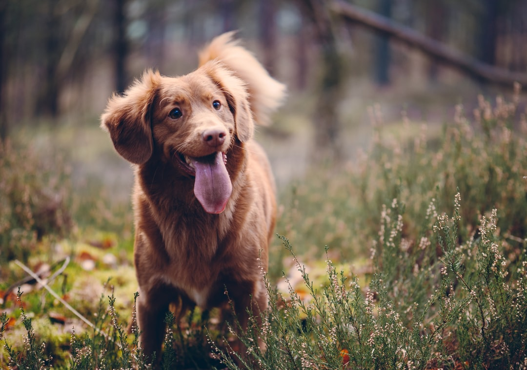 nova scottia duck tolling retriever showing tongue on grass field at daytime