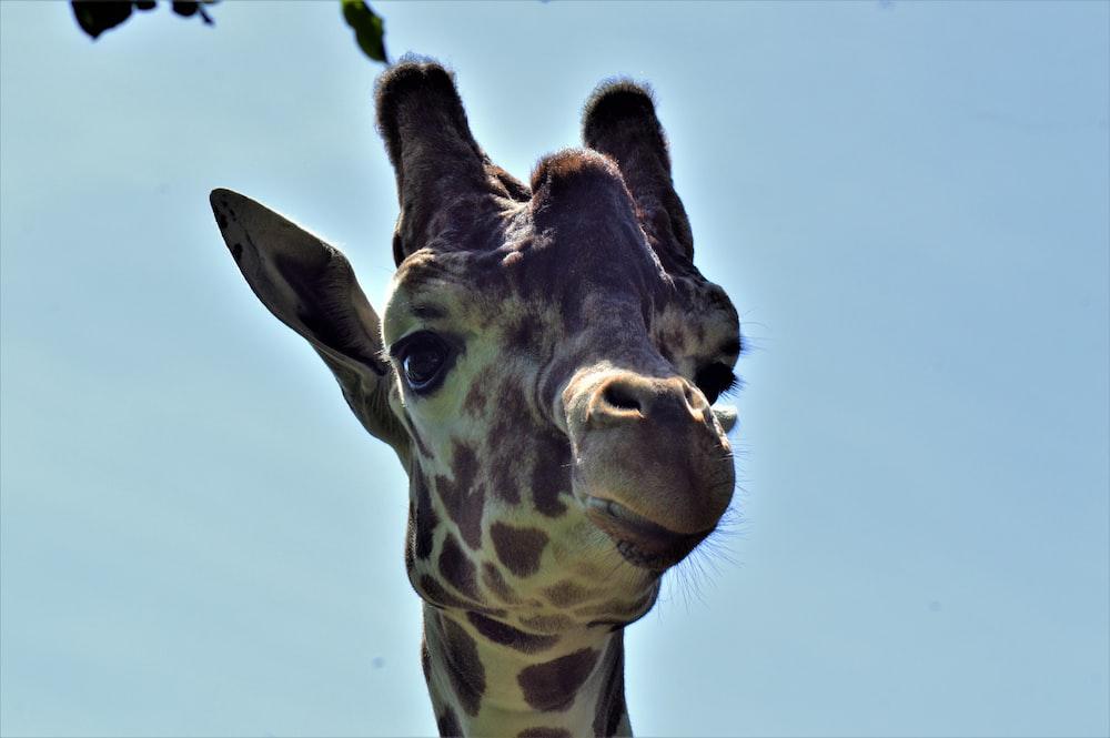 brown giraffe standing under blue sky