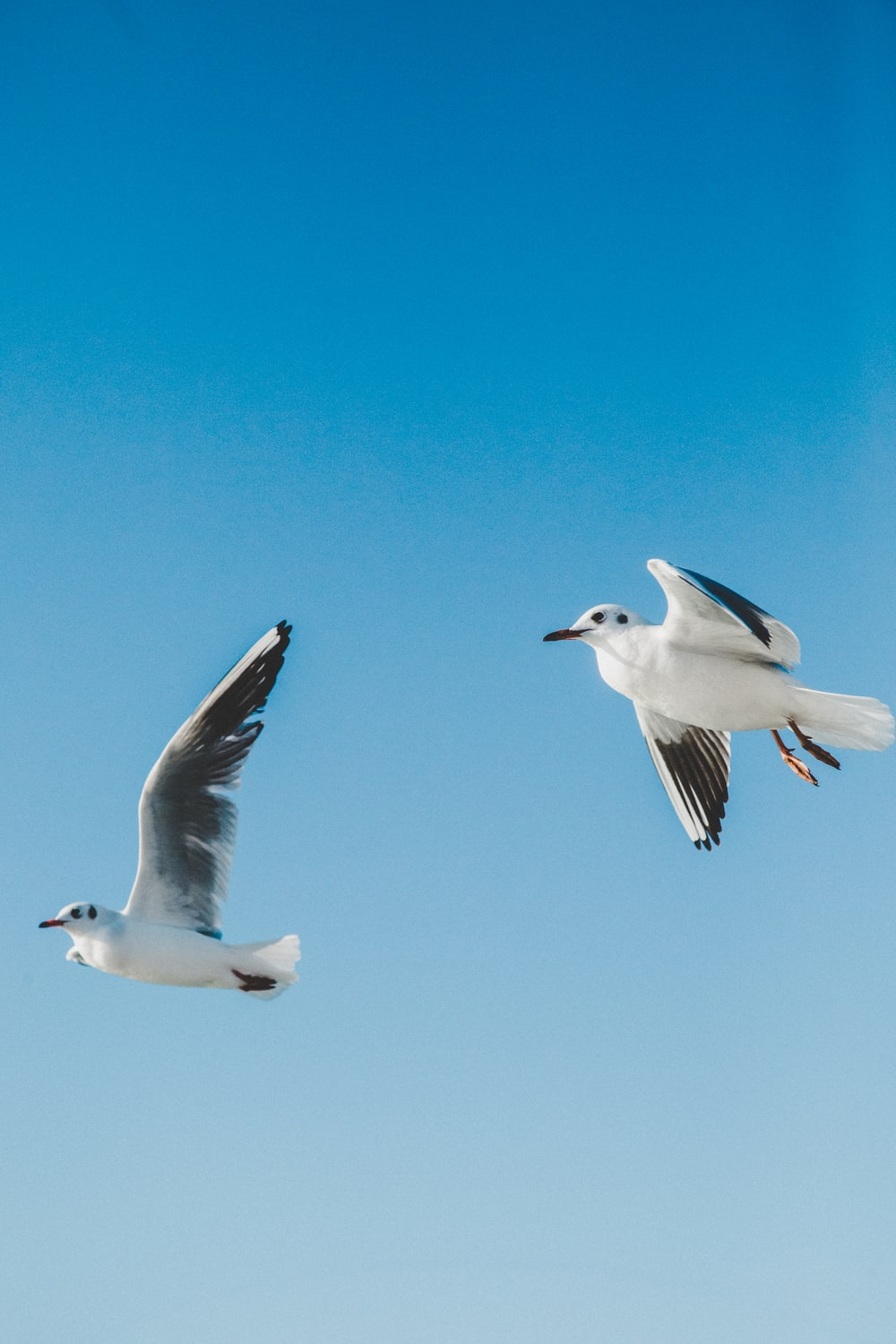 white and black seagull mid air