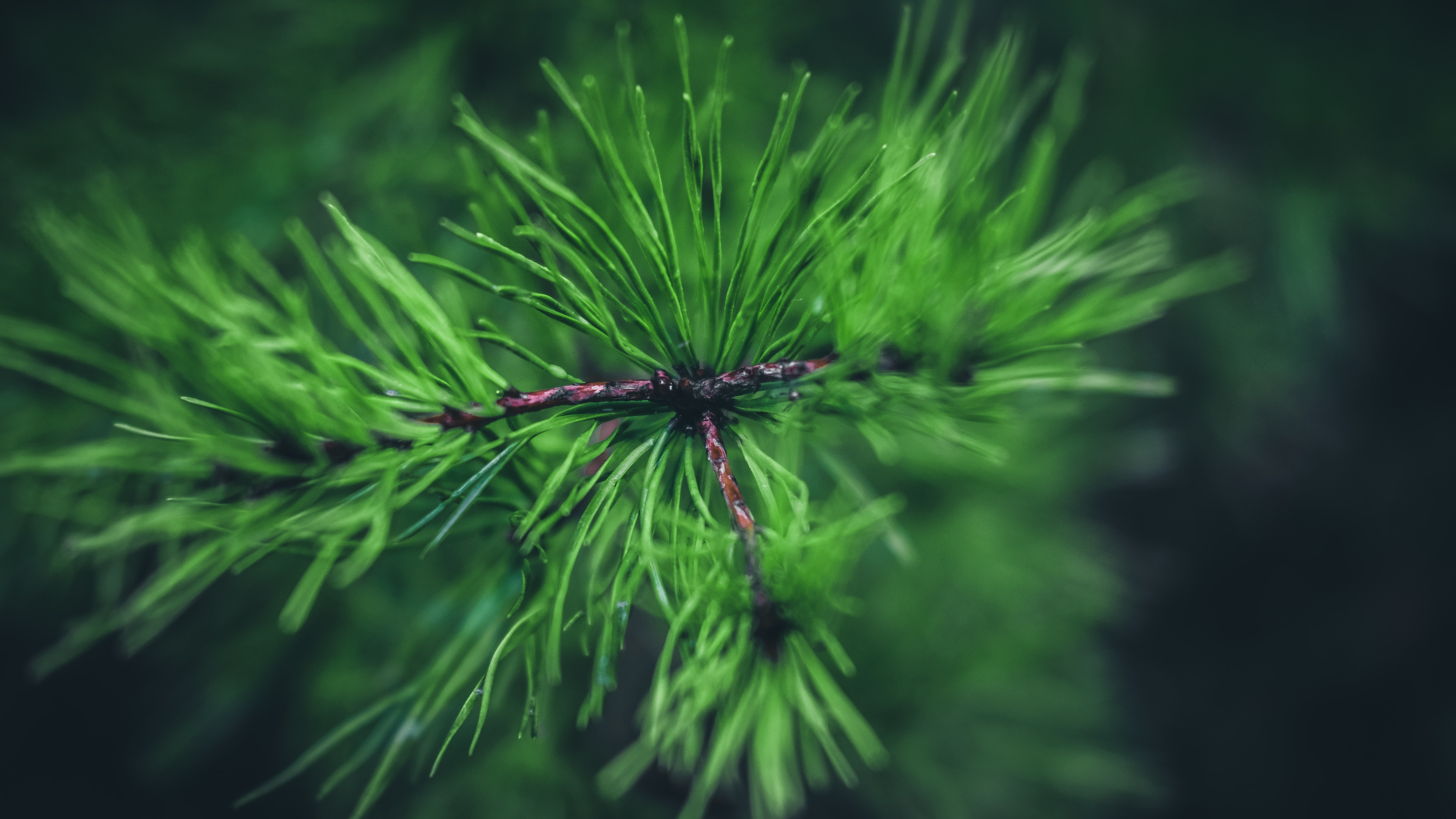selective photography of pine tree