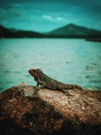 shallow focus photography of iguana on top of rock