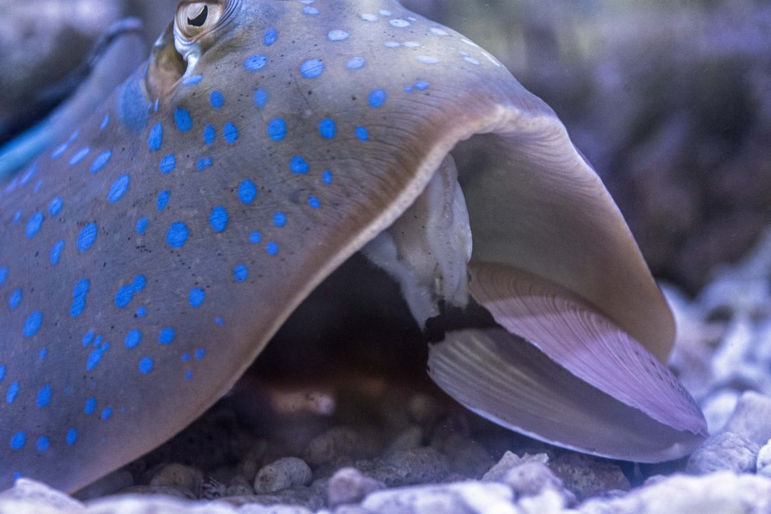 The moment at which a blue-spotted stingray extracts a scallop from its shell for dinner, after considerable effort.