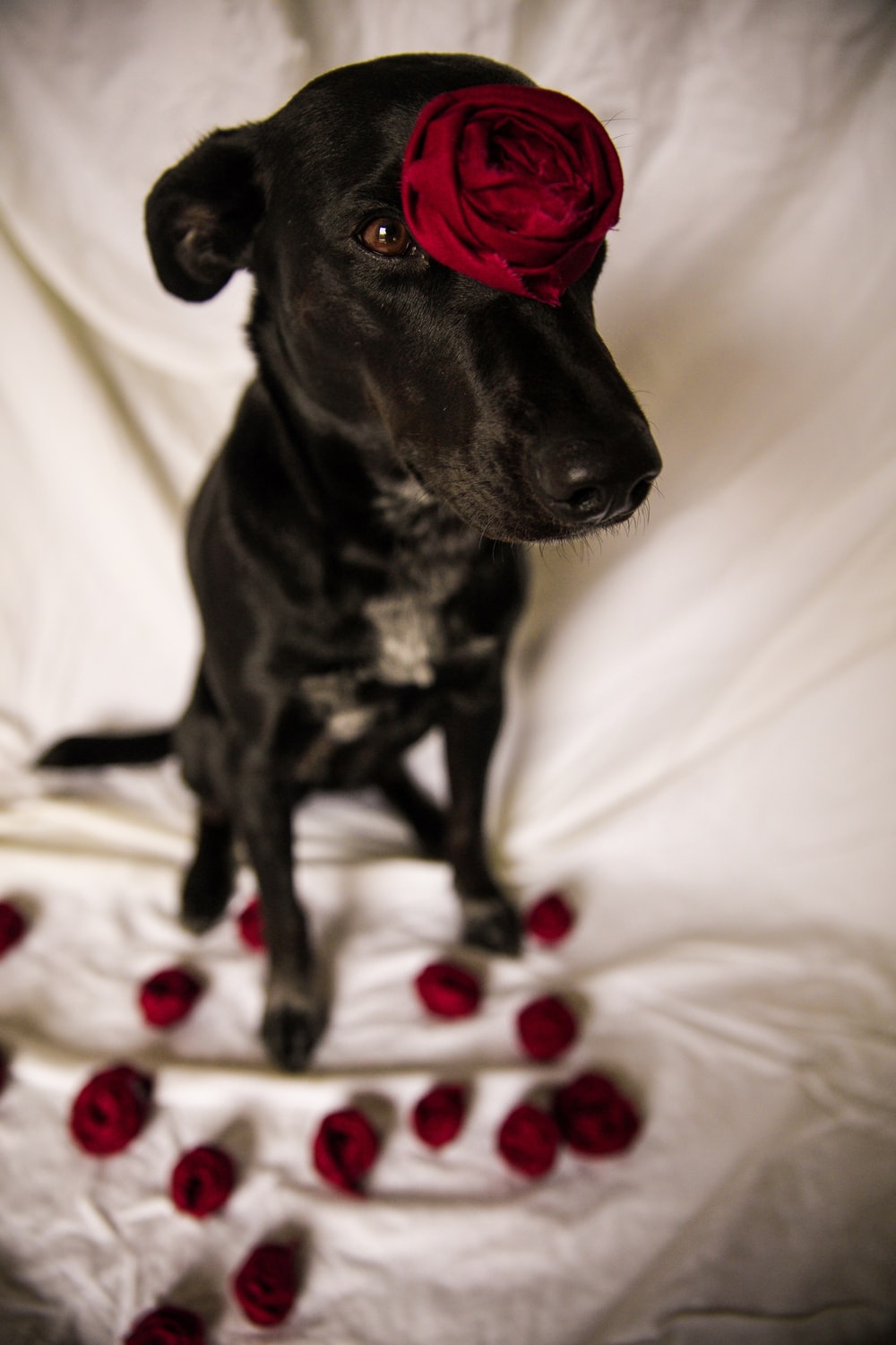 short-coated black dog standing still with red rose in head