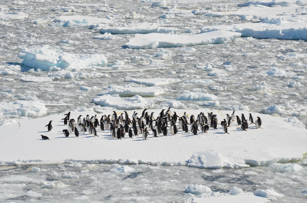 black and white penguins on ice field