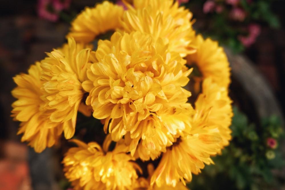 selective focus of yellow chrysanthemum