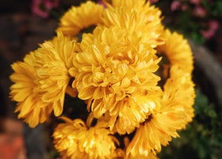 selective focus of yellow chrysanthemum