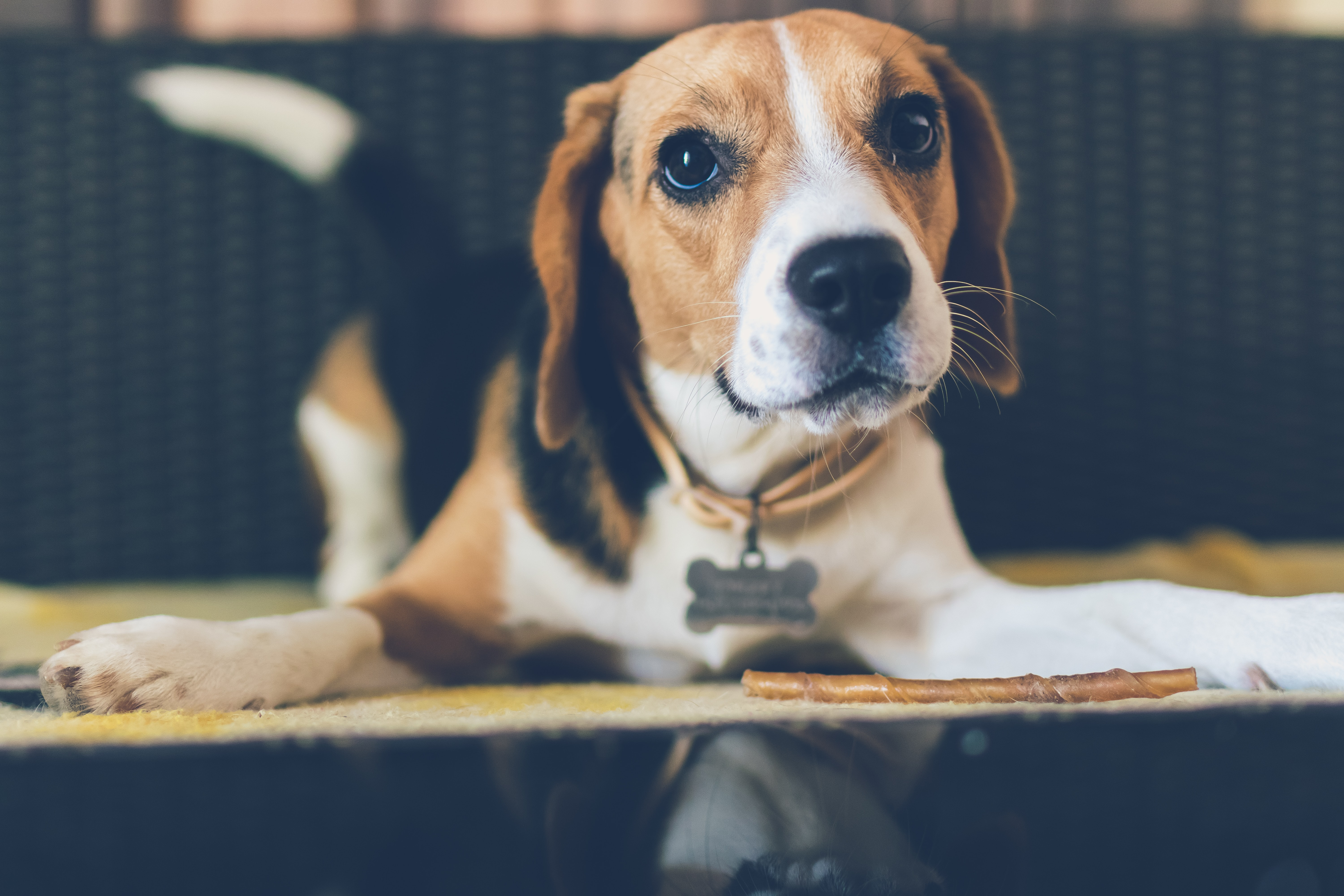 shallow focus photography of adult tricolor beagle