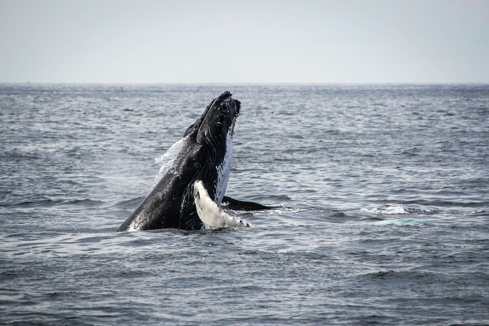 humpback whale jumping on sea