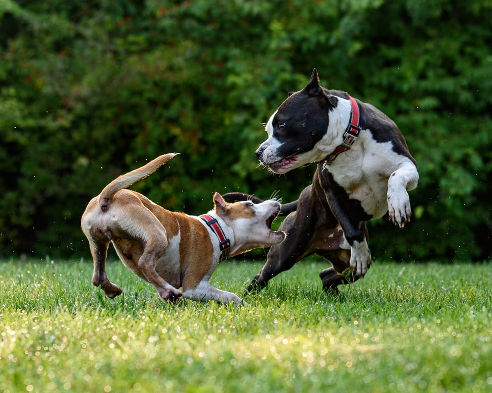 two short-coated brown and black dogs playing