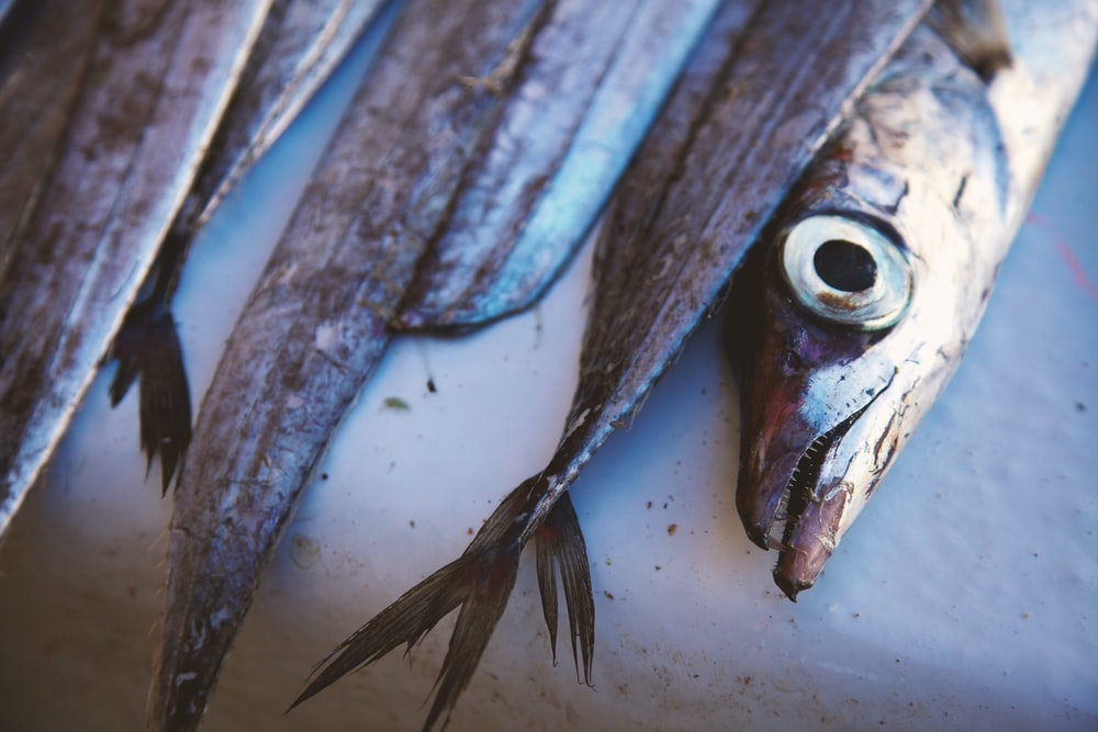 gray edible fish