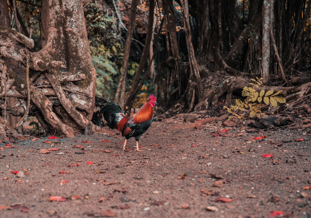 black and red rooster on brown soil