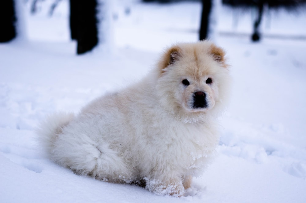 white chow chow puppy sitting on snow field