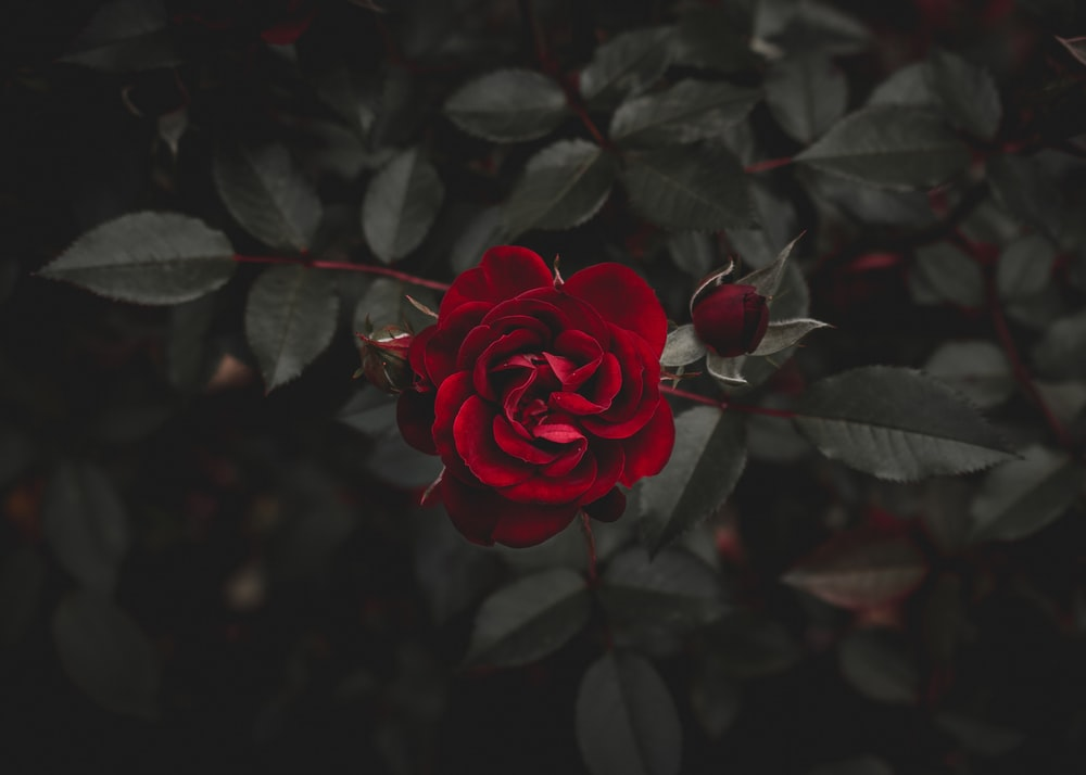 Rose In Dark Pictures Download Free Images On Unsplash