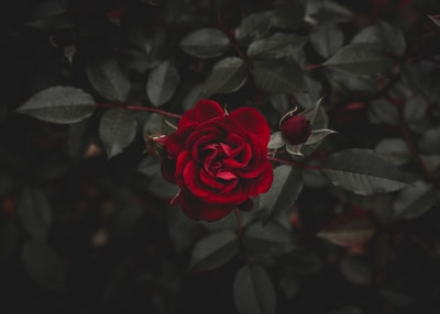 red flower rose zoom background