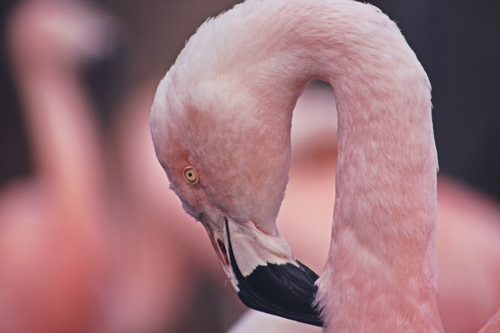 selective focus photography of flamingo
