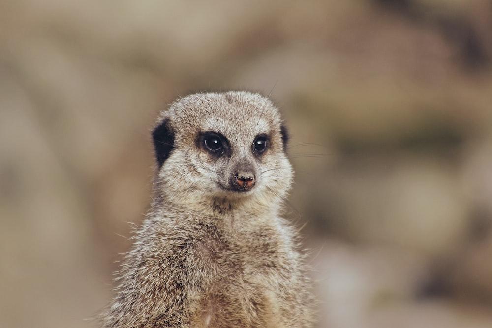 shallow focus photo of meerkat