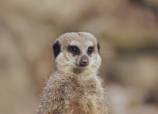 shallow focus photo of meerkat