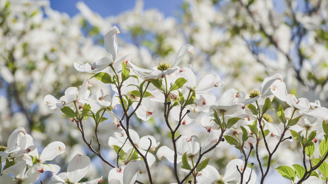Dogwood trees in bloom in the PNW